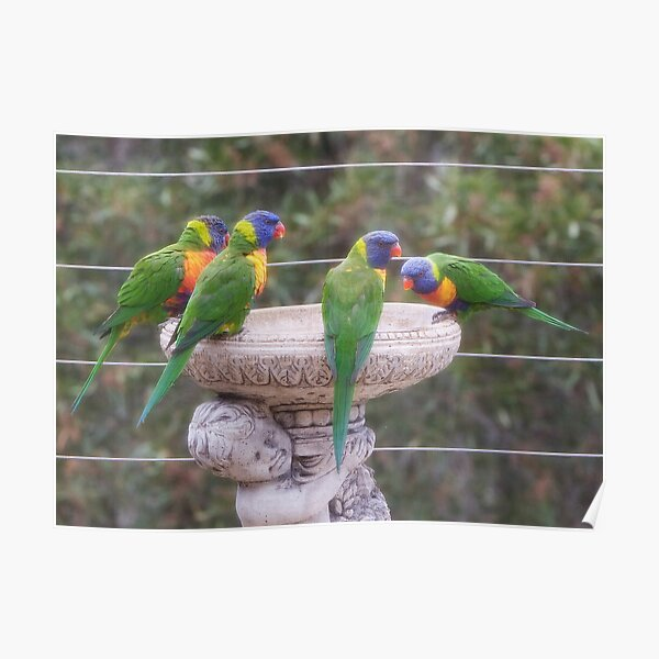 Four Lorikeets Poster