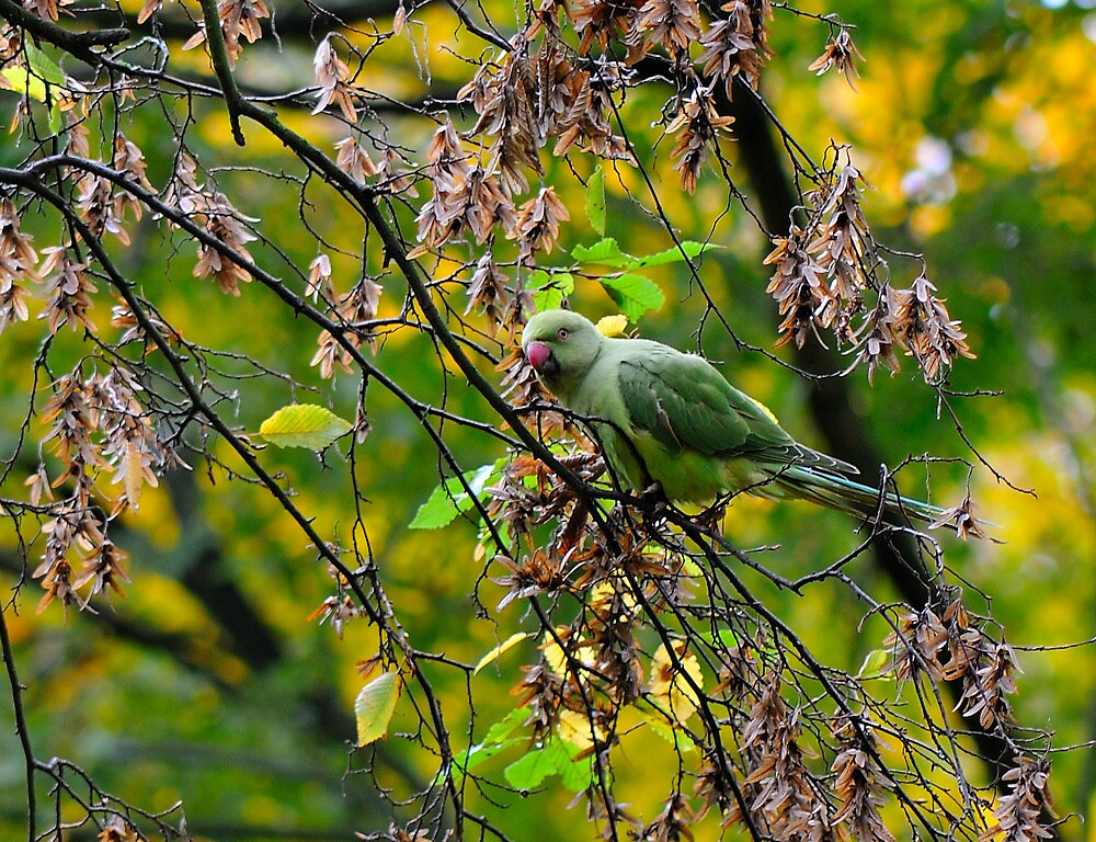 Rose Ringed Parakeet by Durotriges