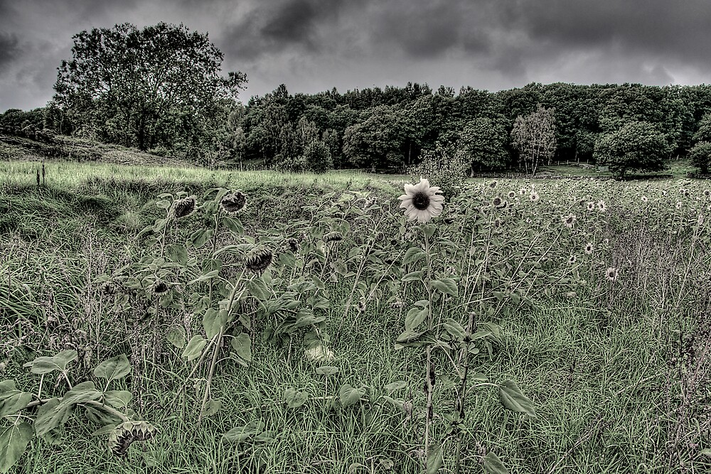 Sunflowers Deprived Of Sun by Fredrik Ottedag