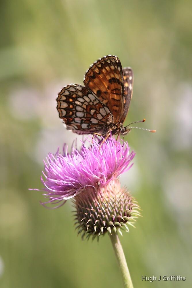 False Heath Fritillary butterfly by Hugh J Griffiths