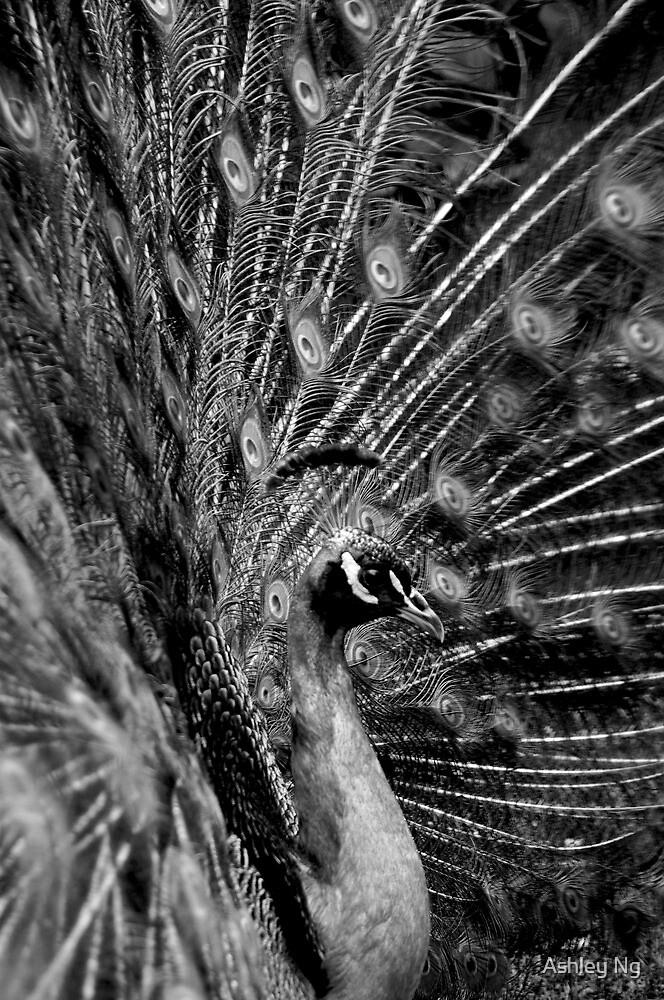Peacock, Tasmania, 2009 by Ashley Ng