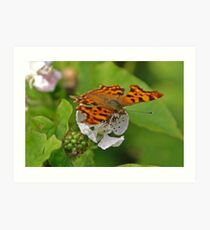 Comma butterfly nectaring Art Print