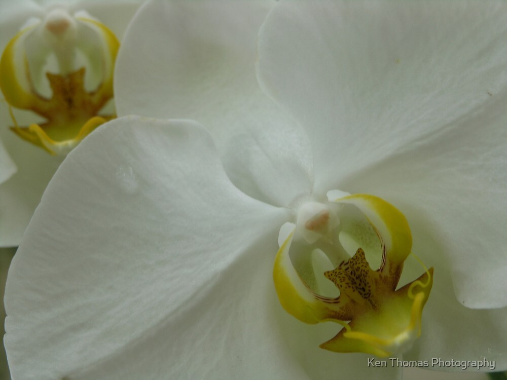 Orchid Duet by Ken Thomas Photography