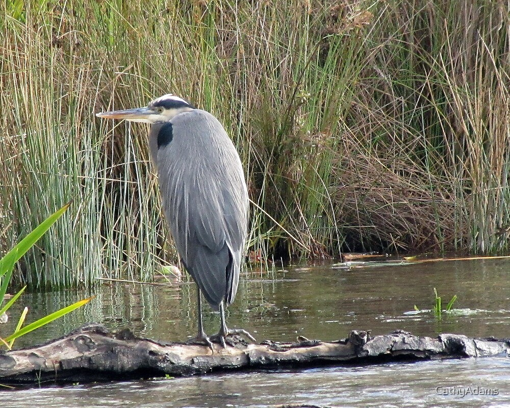 Great Blue Heron  by CathyAdams