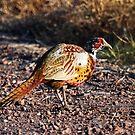 Pheasant by Julia Washburn