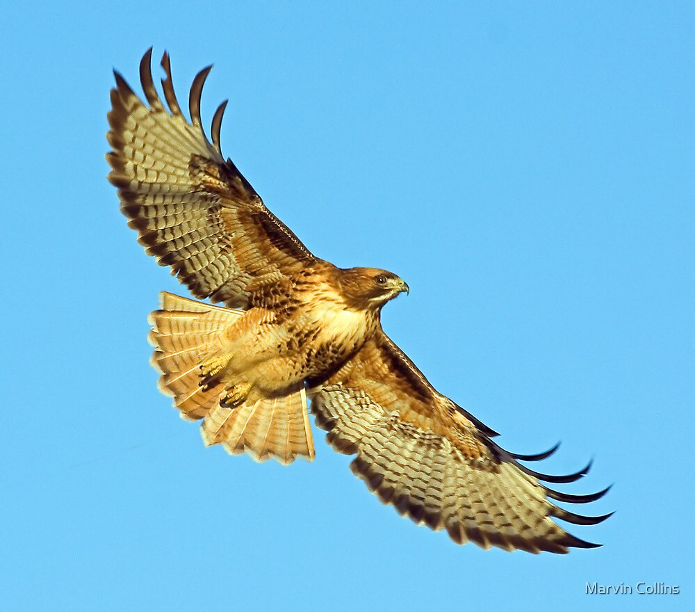 Christmas Day Hawk by Marvin Collins
