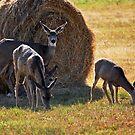 Mule Deer Family by Julia Washburn