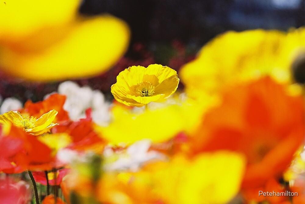 Poppy at Floriade. by Petehamilton