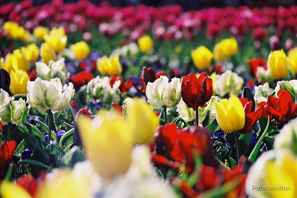 Sea of tulips. by Petehamilton