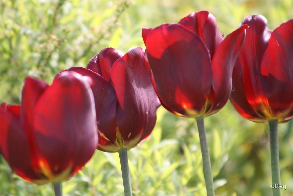Tulips by lottey
