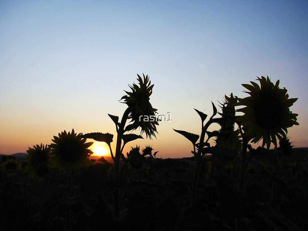 Sunset over sunflowers field by rasim1