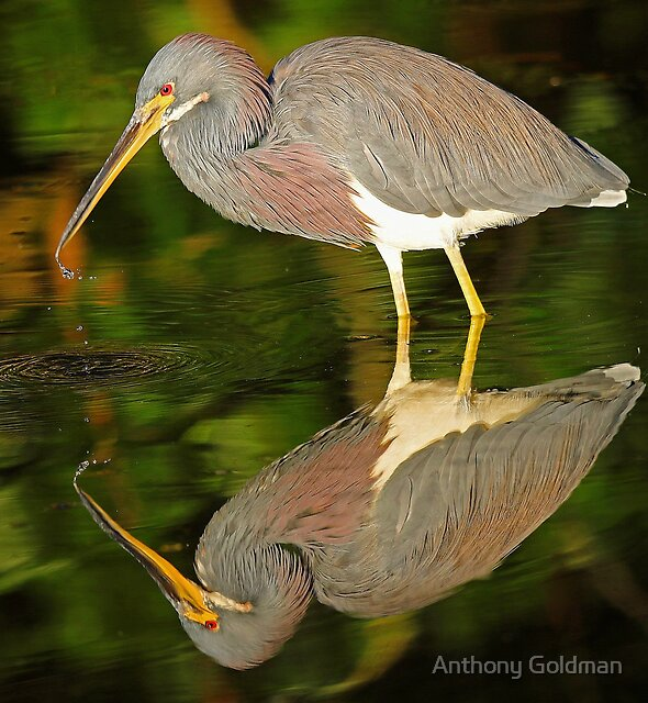 Tricolored Reflections! by Anthony Goldman