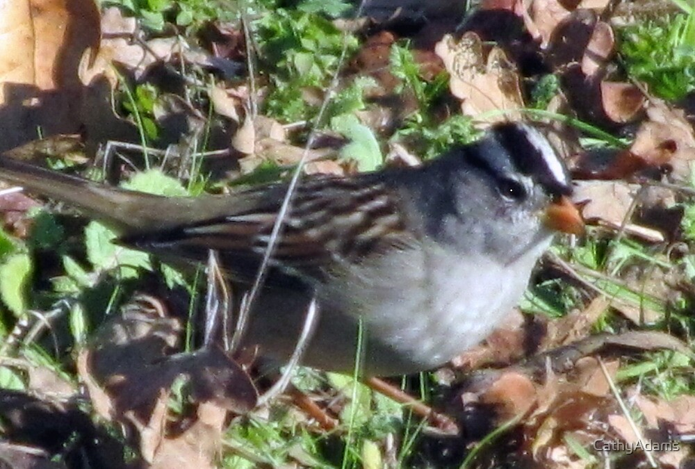 White Crowned Sparrow by CathyAdams