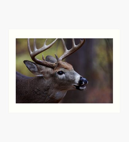 Big 10-pointer - White-tailed Deer Art Print