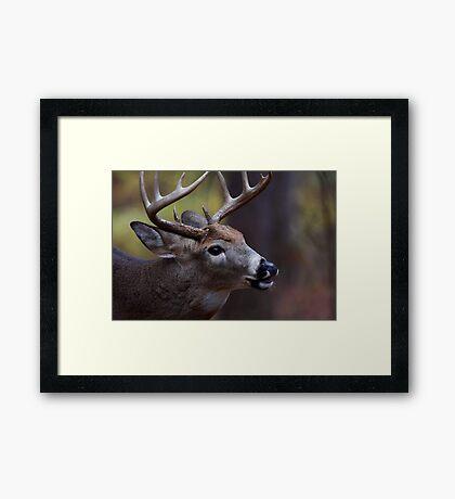 Big 10-pointer - White-tailed Deer Framed Print