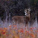 Looking up at royalty - White-tailed Deer by Jim Cumming