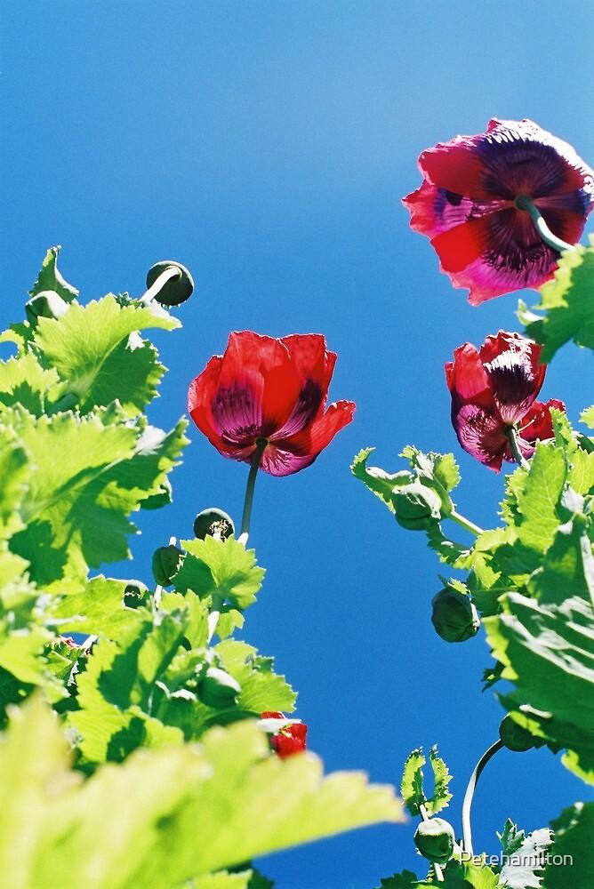 Opium poppies. by Petehamilton