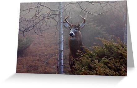 Big necked buck - White-tailed Deer by Jim Cumming