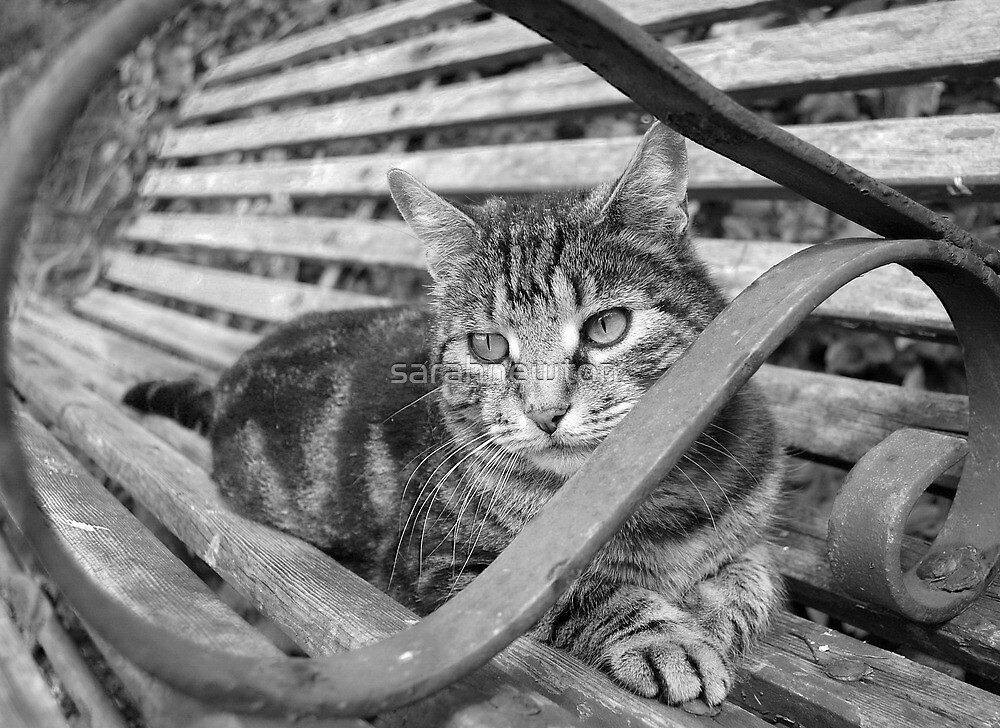 Silver tabby black and white by sarahnewton