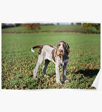 Brown Roan Italian Spinone Puppy Portrait Poster