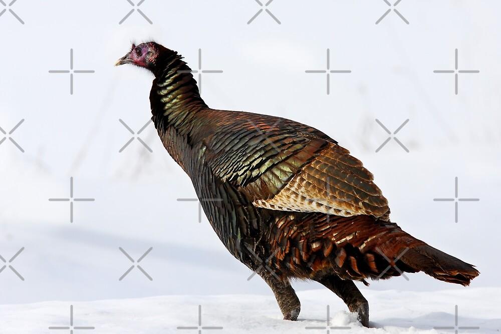 Wild Turkey...Wild Colours by Jim Cumming