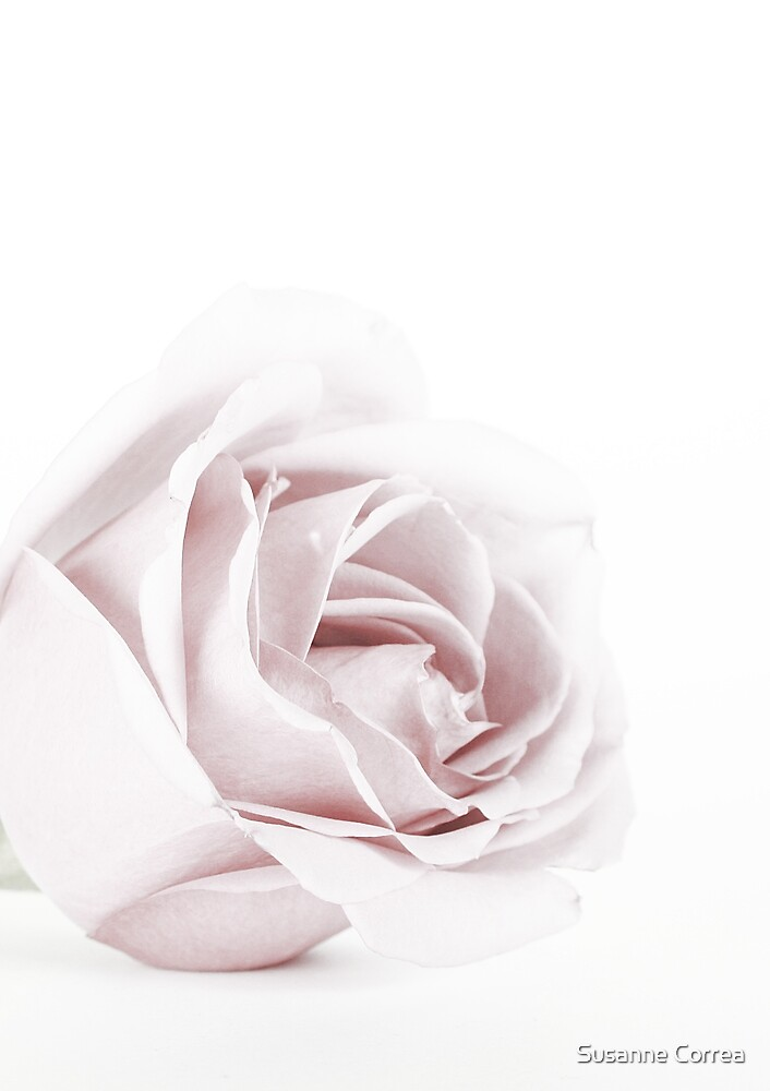 The Pink Rose by Susanne Correa