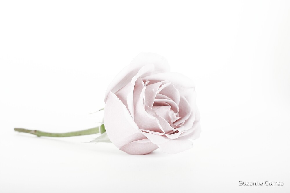 The Pink Rose (2) by Susanne Correa