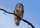 Great Grey owl sits in his perch by Jim Cumming