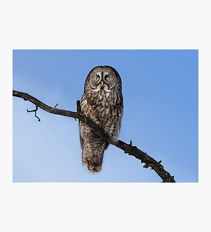 Great Grey owl sits in his perch Photographic Print