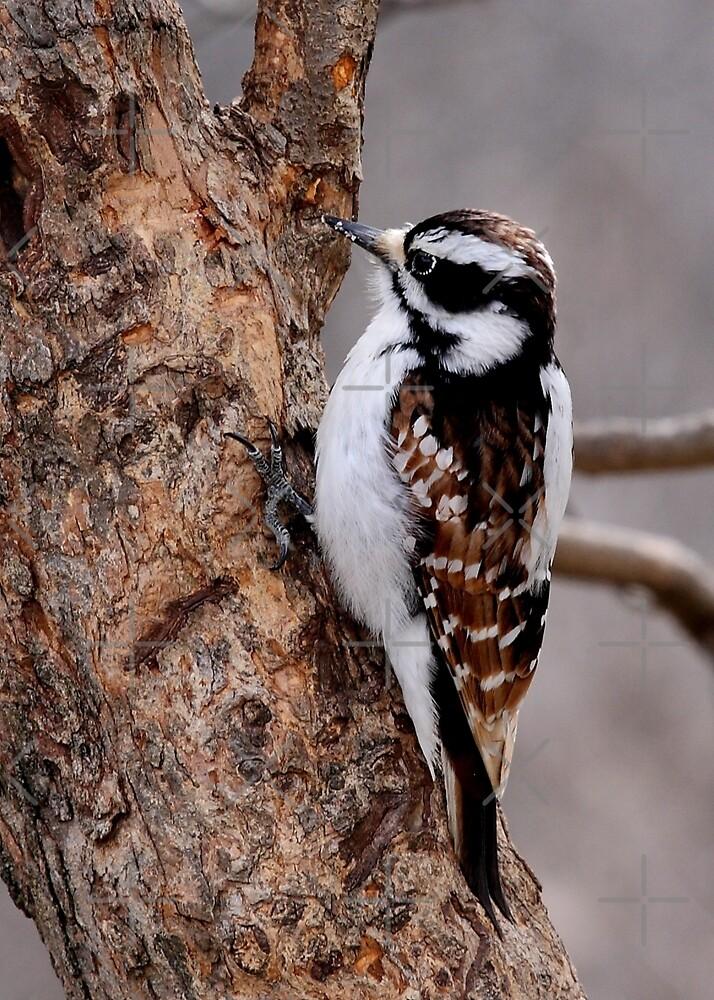 Cinnamon coloured Downy woodpecker by Jim Cumming