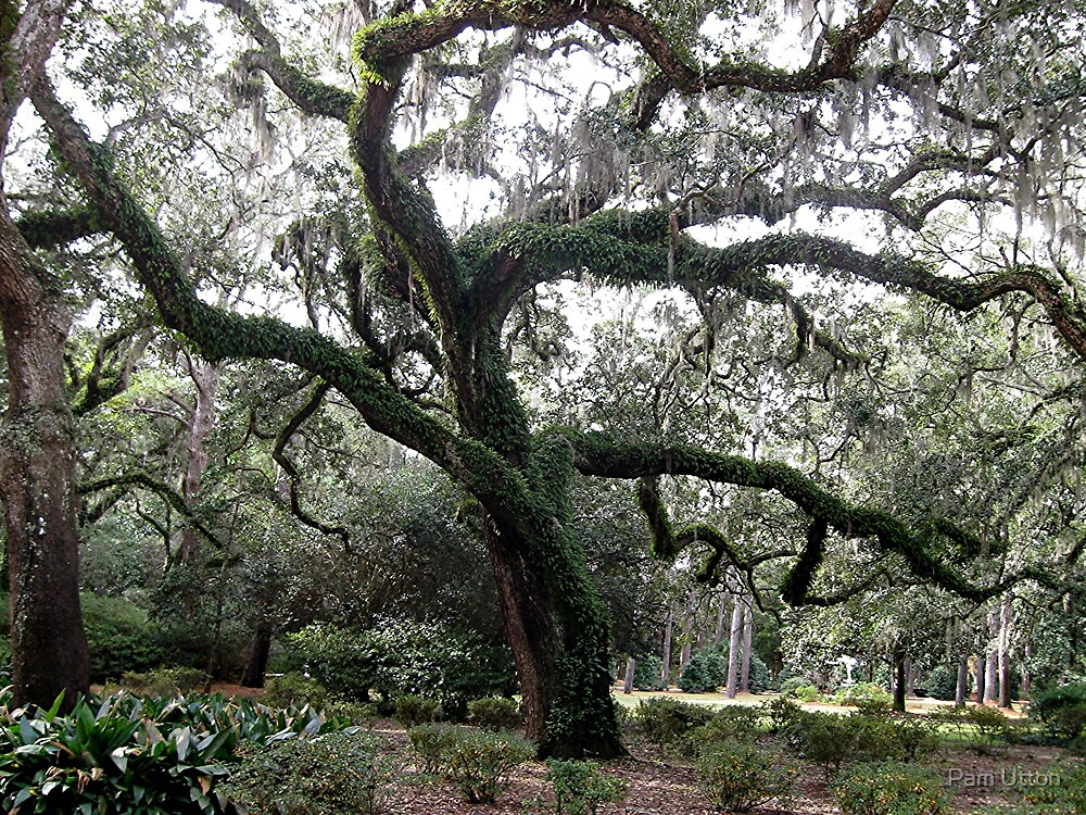 old graceful oak by Pam Utton