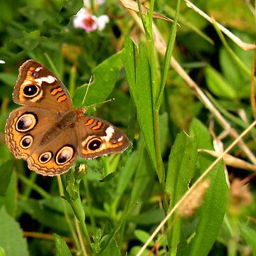Buckeye Butterfly in Nature by posyrosie