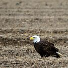 Bald Eagle by Gabi Swanson