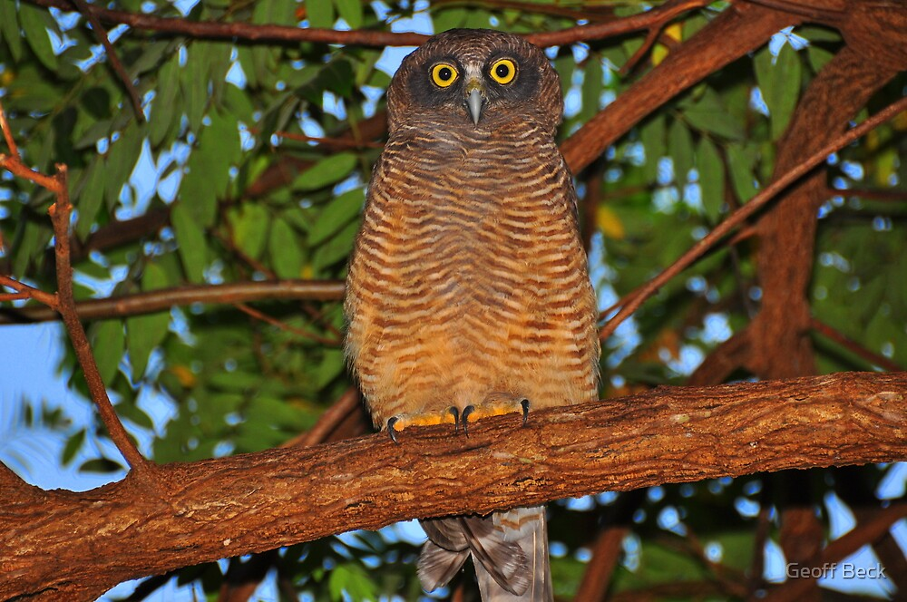 Rufous Owl by Geoff Beck