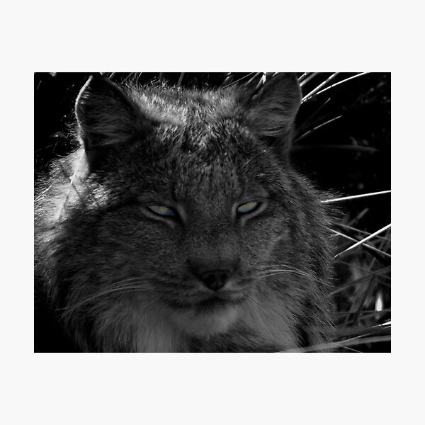 The Missing Lynx Photographic Print