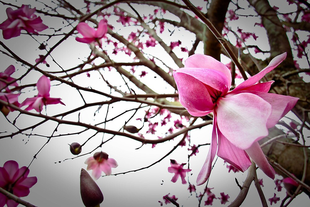 Last bloom - Spring Magnolias  by Greta Kenyon
