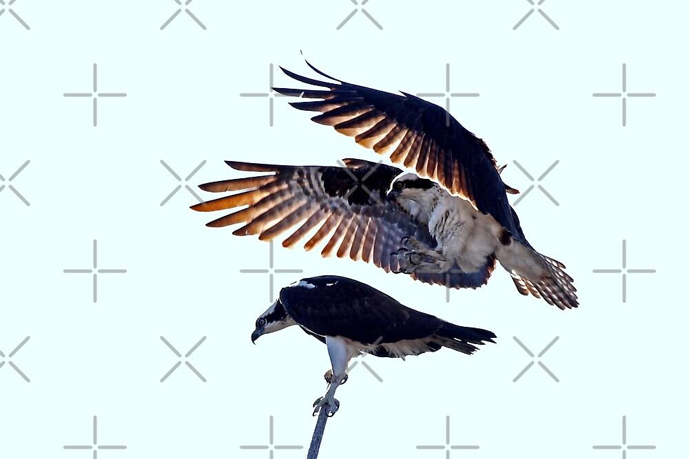 Osprey by Jim Cumming
