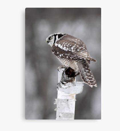 Northern Hawk Owl Canvas Print