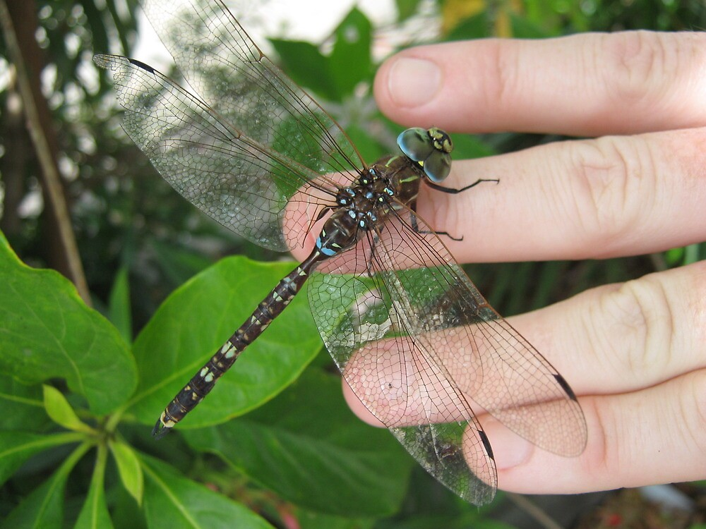 Blue Dragonfly Sitting on a Hand. by Mywildscapepics