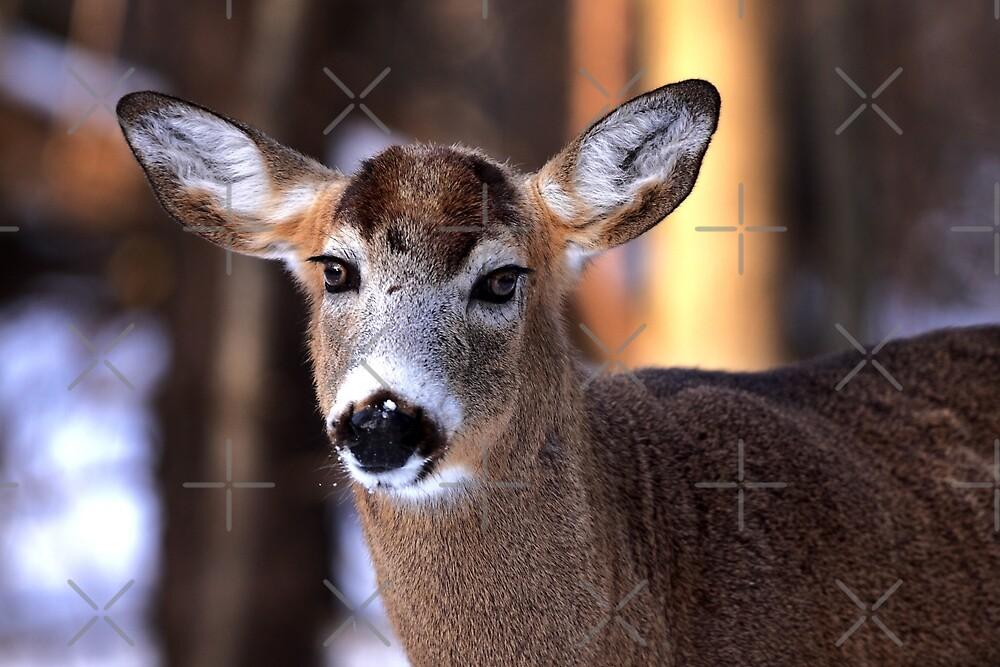 Bright eyes - White-tailed Deer by Jim Cumming