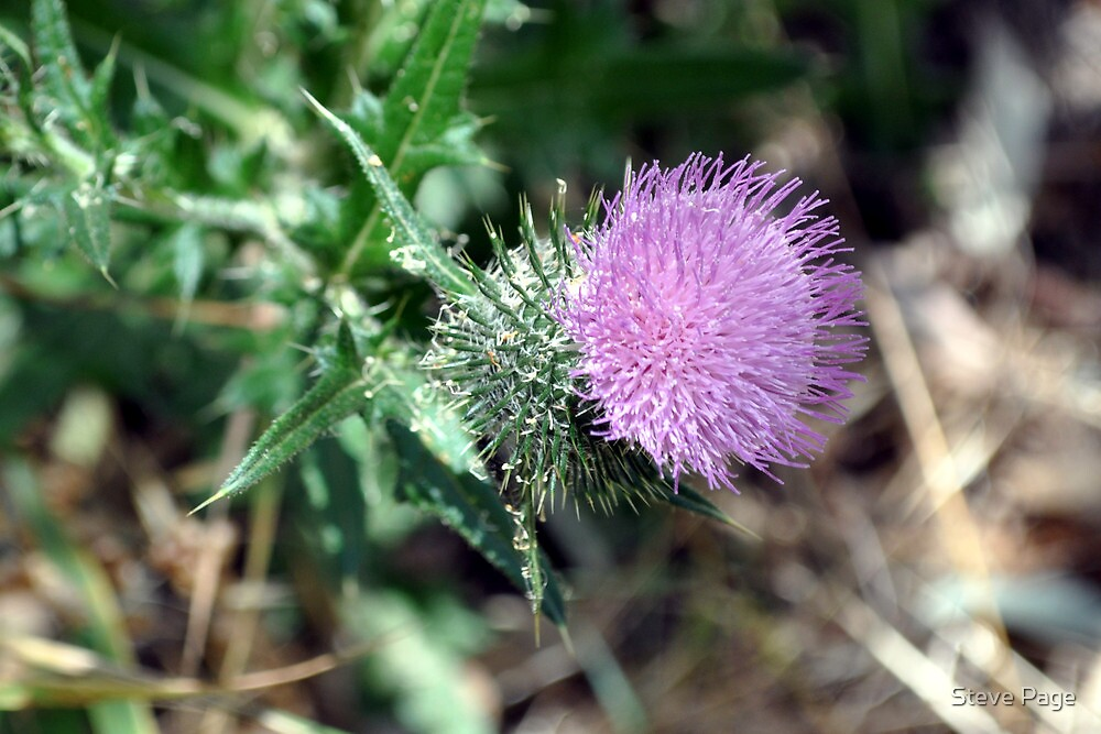 Scotch Thistle by Steve Page