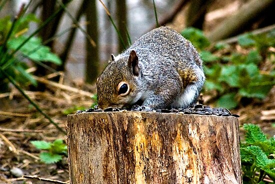 Grey Squirrel by Trevor Kersley