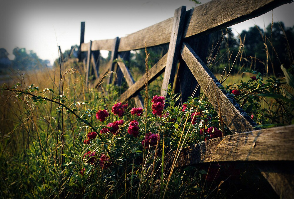 Fence and Wild Roses by Dave Chafin Photography