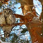 The owl with one eye (video of him in description) by Heather King