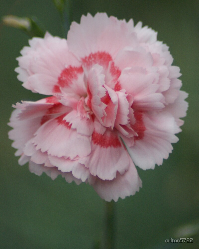 Two-tone carnation by milton5722