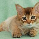 Somali kitten portrait by sarahnewton