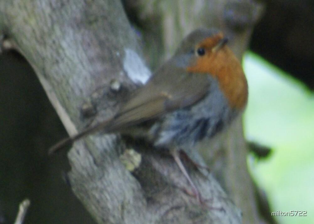 Little Robin Redbreast by milton5722