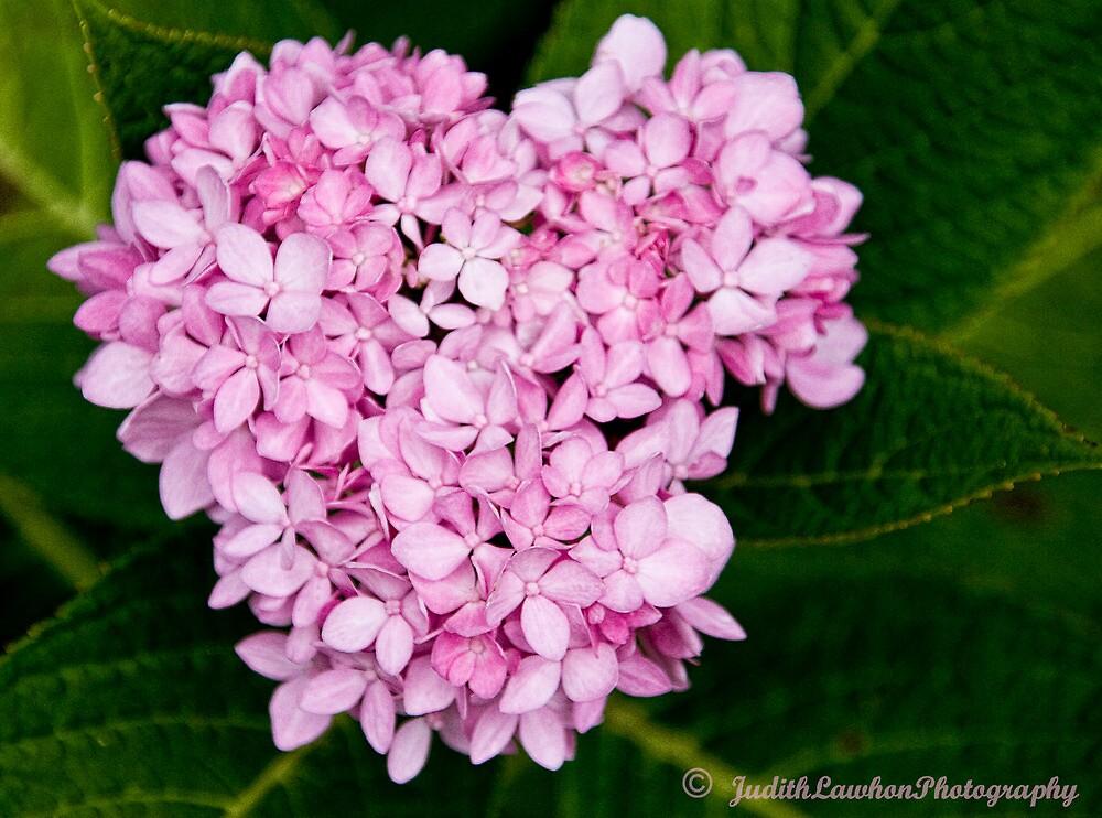 Pink Hydrangea by Judy Lawhon