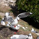Seagull colony. by Anne Scantlebury