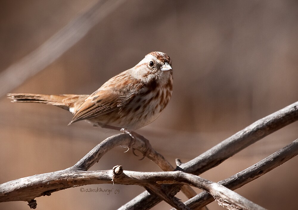 Song Sparrow Cropped by WiredMarys